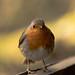 Plump Little Robin