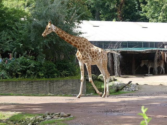 Kordofan-Giraffe, Zoo Dresden