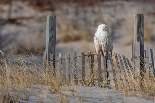 a Snowy Perch