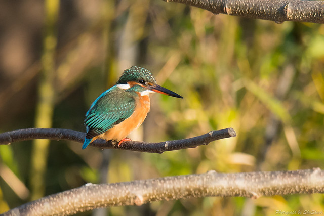 20180113-kingfisher-DSC_3967