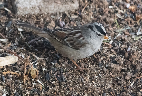 white_crowned_sparrow-20180122-100
