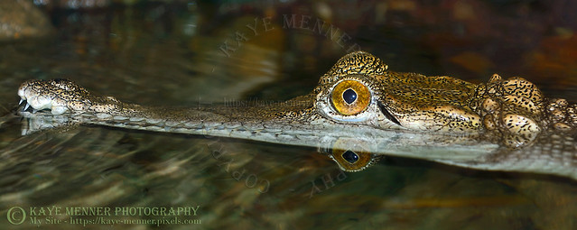 Young Freshwater Crocodile by Kaye Menner