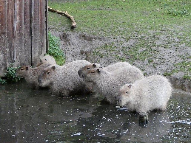 Capybara, GaiaZOO