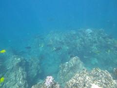 whitebar surgeonfish (Acanthurus leucopareius) and whitespotted surgeonfish Acanthurus guttatus), Mahuko County Park_10082015