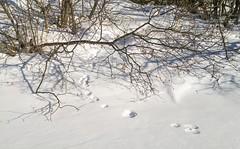 Shoreline Hare