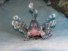 Lionfish. Pesce Leone. (Pterois volitans)