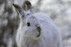 Look me in the eye - snowshoe hare