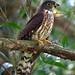 Hodgson's Hawk Cuckoo - juvenile