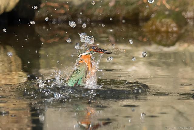 20180121-kingfisher-DSC_5077