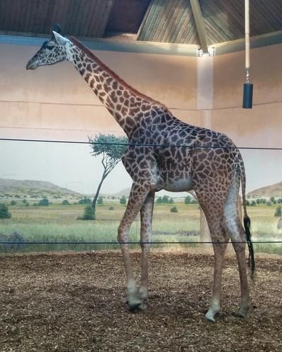 Giraffe (3) #toronto #torontozoo #mammal #giraffe #latergram