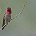 Anna's Hummingbird, male