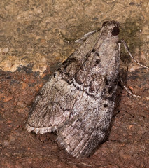 Maple Webworm Moth