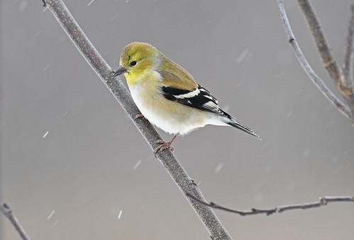 Male Goldfinch-snowy morning