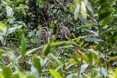 Agile mangabey (Cercocebus agilis), Lobéké National Park, Cameroon
