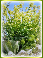 Beautiful flowering Brassica pekinensis (Chinese Cabbage, Napa Cabbage, Peking Cabbage, Celery Cabbage), 12 Jan 2018