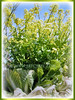 Brassica pekinensis (Chinese Cabbage, Napa Cabbage, Peking Cabbage, Celery Cabbage)