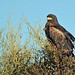 Windblown Harris's Hawk