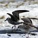 South Gare Birds 4