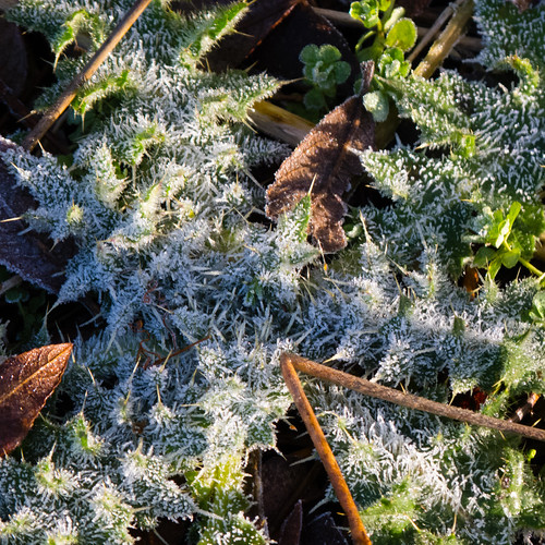 Thistle, heavily frosted