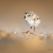 Piping Plover chick by Greg Gard