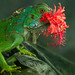 Green Iguana by Christian Sanchez Photography