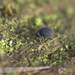 Sminthurinus niger