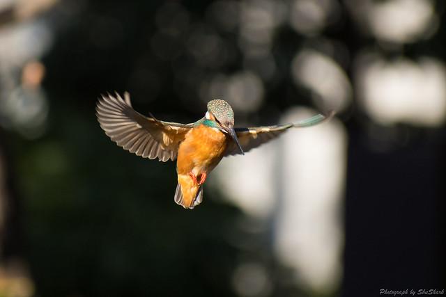 20180125-kingfisher-DSC_5459