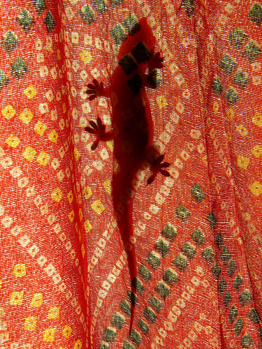 Silhouette/shadow of a gecko climbing a bright curtain in Udaipur, India