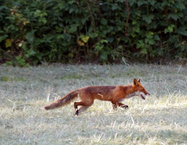 foxC03736