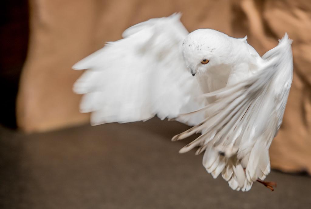 Snowy Owl_18