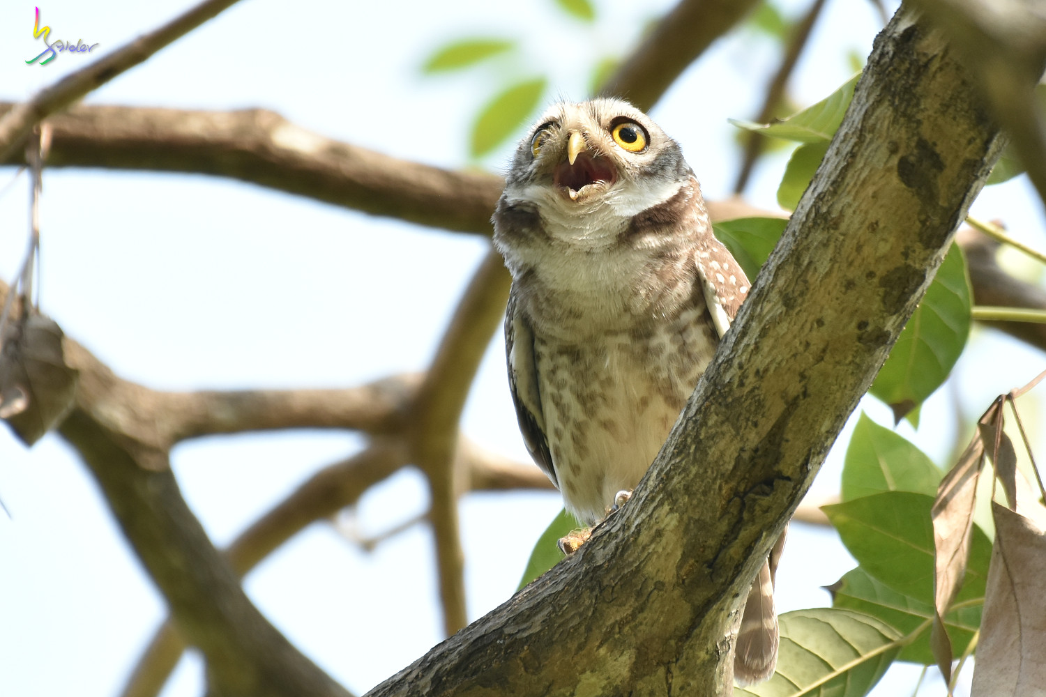 Spotted_Owlet_0618