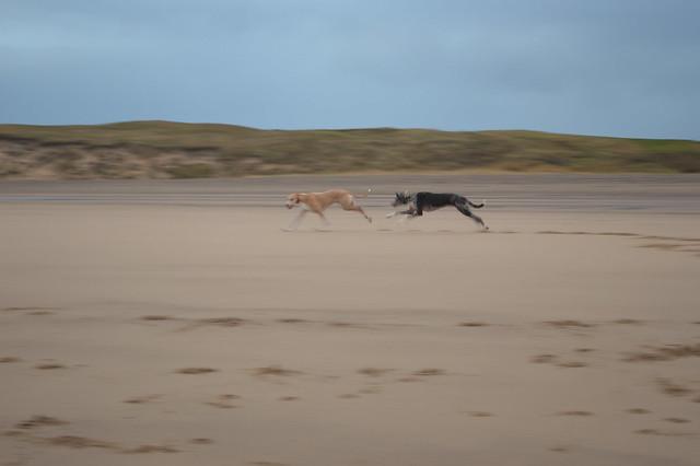 Lurcher run on Crimdon Beach