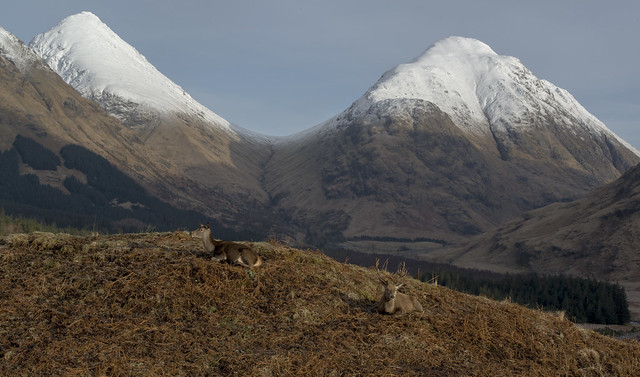 Pair of Deer relax in front of Buachaille Etive Mor and Buachaille Etive Beag