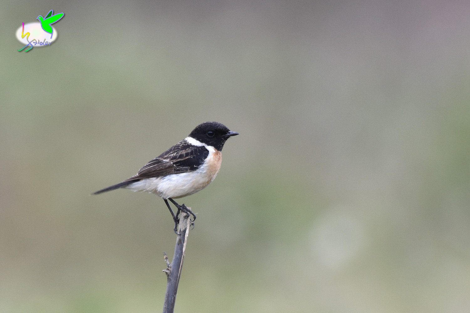 Common_Stonechat_9422