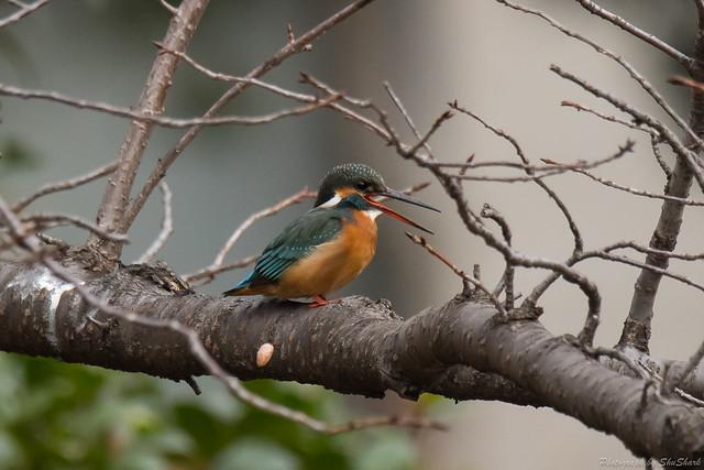 20180108-kingfisher-DSC_3261