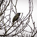 84_Starling in the twigs