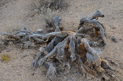 Tucson Gilber Ray Brown Mountain Cholla that died