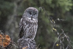 Great Gray Owl on a rainy day