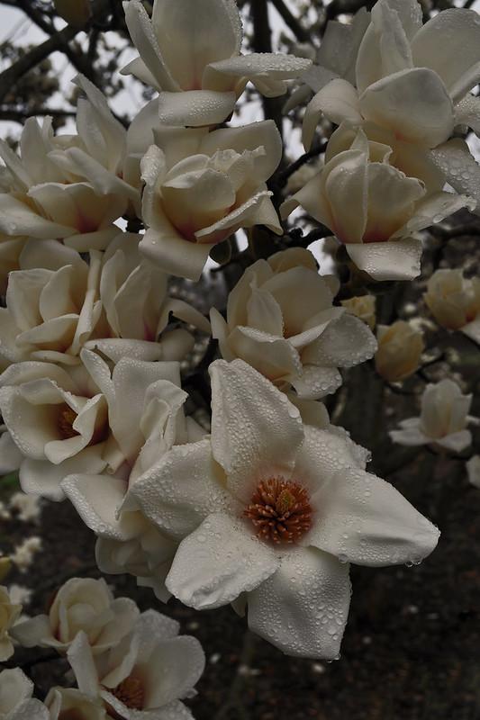 Magnolia denudata (6)
