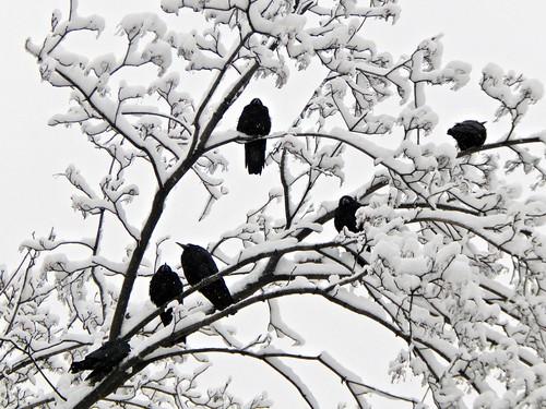 Вороны