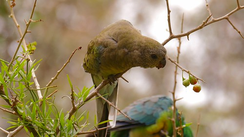 Red-rumped Parrot (f)