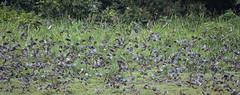 Red-nosed green pigeons (Treron calvus), Lobéké National Park, Cameroon
