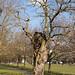 Gnarled tree   Clapham Common   Feb 2018-4