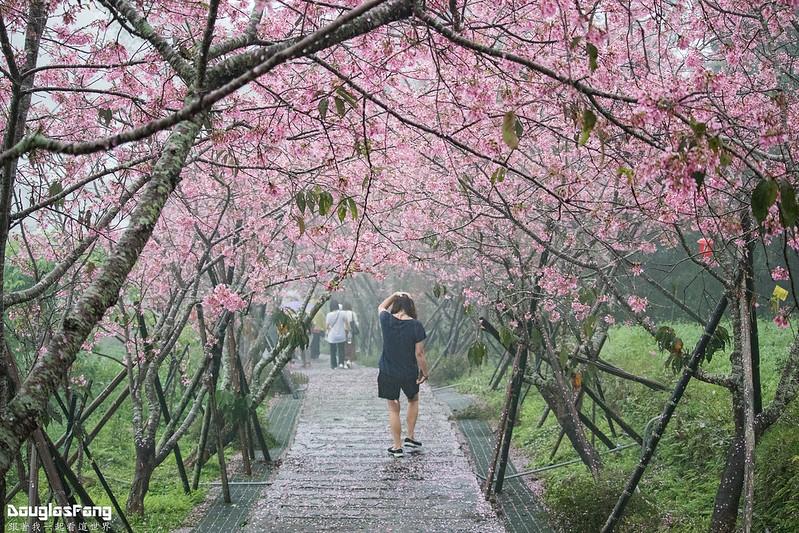 【遊記】南投鹿谷鳳凰自然教育園區賞櫻花 (12)