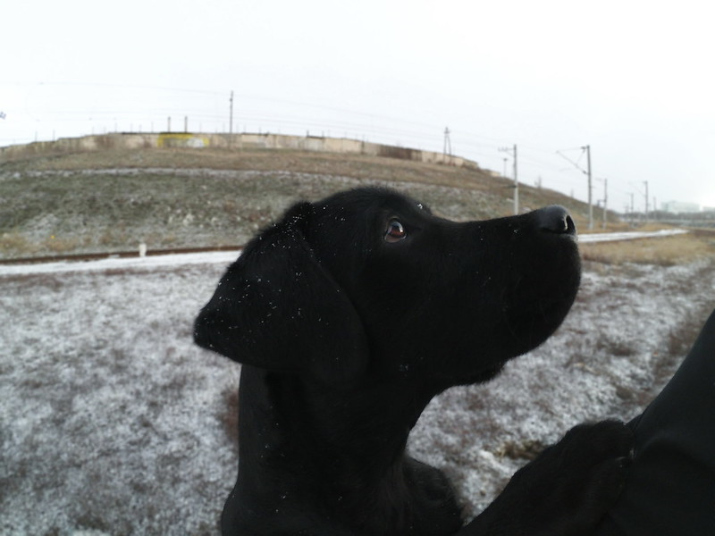 Why Americans Often love Lab Puppies - Professional
