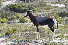 Bontebok Damaliscus pygargus