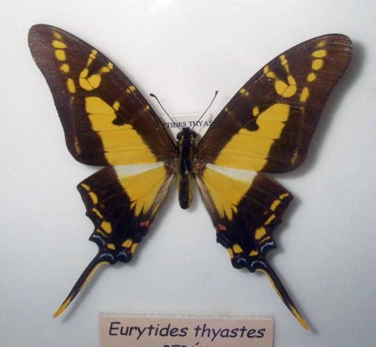 Eurytides thyastes 25698967347_57efca91f0_o