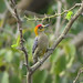 Golden-cheeked Woodpecker por tedell