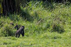 Western lowland gorillas, Lobéké National Park, Cameroon