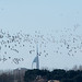 Flock of brent geese flying in front of the Spinnaker Tower